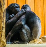 Common chimpanzee couple being very intimate together, Apes expressing love to each other, primate behavior. A common chimpanzee couple being very intimate royalty free stock images