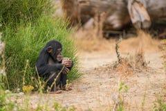 Common chimpanzee with ice stock photo