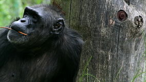 Common chimpanzee (lat. Pan troglodytes) stock footage