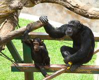 Common Chimpanzee - Pan troglodytes. Common chimpanzee, Pan troglodytes, dad and son sitting on structure in zoo royalty free stock photo