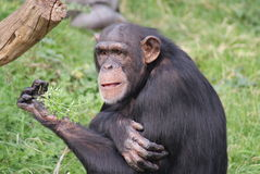Common Chimpanzee - Pan troglodytes Stock Photo