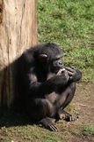 Common Chimpanzee - Pan troglodytes Royalty Free Stock Images