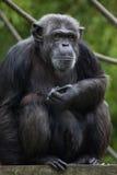 Common chimpanzee Pan troglodytes Stock Images
