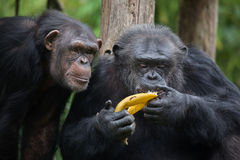 Common chimpanzee Pan troglodytes Stock Image