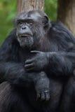 Common chimpanzee Pan troglodytes Stock Photos