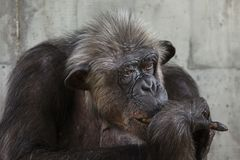 Common chimpanzee Pan troglodytes. Also known as the robust chimpanzee royalty free stock photos