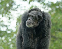 Common chimpanzee Stock Photos