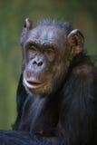 Common chimpanzee (Pan troglodytes). Stock Photos