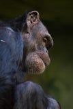 Common chimpanzee (Pan troglodytes). Royalty Free Stock Images