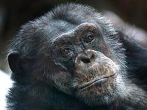 Common Chimpanzee (Pan troglodytes) Stock Image