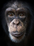 Common Chimpanzee (Pan troglodytes) Stock Photography