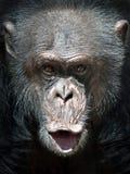Common Chimpanzee (Pan troglodytes) Stock Photography