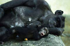 Common chimpanzee (Pan troglodytes) with a cub Royalty Free Stock Photo