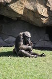 Common Chimpanzee - Pan troglodytes Stock Photography