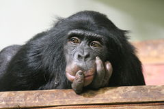 Chimp Common chimpanzee (Pan troglodytes) stock, photo, photograph, image, picture. Chimp Common chimpanzee (Pan troglodytes) looking sad stock photo