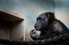 Common chimpanzee, Pan troglodytes Portrait of big iconic mammal kept in ZOO.Moving portrait of sad ape. Common chimpanzee, Pan troglodytes Portrait of big royalty free stock photos