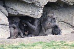 Common Chimpanzee - Pan troglodytes - Shelter Stock Photography