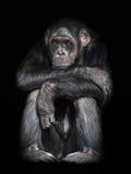 Common Chimpanzee (Pan troglodytes) Royalty Free Stock Images