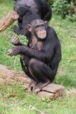 Common Chimpanzee - Pan troglodytes Stock Images