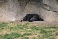 Common Chimpanzee - Pan troglodytes Stock Photo