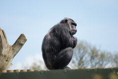 Common Chimpanzee - Pan troglodytes - Watching Stock Image