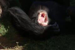 Common Chimpanzee - Pan troglodytes Royalty Free Stock Photos
