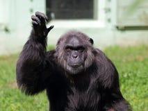 Common chimpanzee portrait Stock Photos