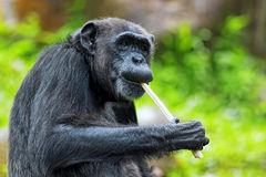 Common Chimpanzee Royalty Free Stock Photography