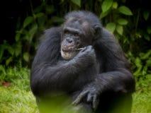 Common Chimpanzee stock photography