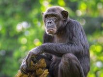 Common Chimpanzee. Portrait of a Common Chimpanzee in the wild stock photography
