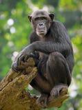 Common Chimpanzee. Portrait of a Common Chimpanzee in the wild royalty free stock image