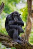 Common Chimpanzee royalty free stock photography