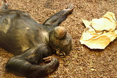 Common chimpanzee (robust chimpanzee). Smile chimpanzee which is very tired royalty free stock photography