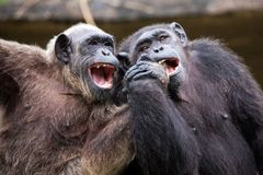 Free Common Chimpanzee Sitting Next In Love. Stock Photography - 117057212