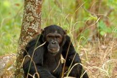 Common Chimpanzee in the wild Royalty Free Stock Photos
