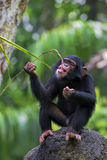 Common Chimpanzee. Young Common Chimpanzee sitting next to a river in the wild royalty free stock images