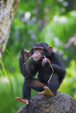 Common Chimpanzee Stock Photos