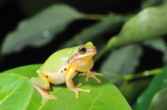 Common Chinese Tree Frog (Hyla chinensis). Common Chinese Tree Frog (Chinese tree toad, Hyla chinensis) is a common tree frog, and usually been found in rainy royalty free stock photography