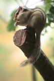 Common chipmunk Royalty Free Stock Image
