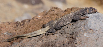 Common Chuckwalla Camouflaging on a rock. Royalty Free Stock Photo