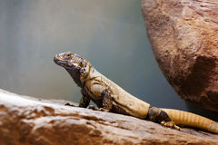 Common Chuckwalla (Sauromalus ater) Royalty Free Stock Photo