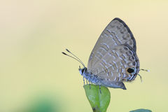 Common Ciliate Blue butterfly. Butterfly; the scientific name is Anthene emolus Stock Photo