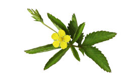 Common Cinquefoil royalty free stock photography