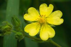 Common Cinquefoil - Potentilla simplex. Close up of a yellow Common Cinquefoil flower. Rouge National Urban Park, Toronto, Ontario, Canada Stock Photos