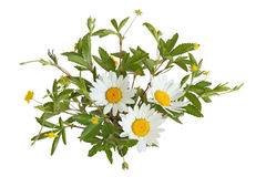 Common Cinquefoild and Daisy Stock Images