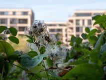 0523_Common clématite - vitalba de clématite - avec les maisons modernes comme fond jpg image stock