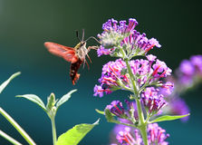 Common Clearwing (Hummingbird Sphinx Moth). Common Clearwing (a.k.a Hummingbird Sphinx Moth) gathering pollen from a purple Butterfly Bush flower Stock Photography