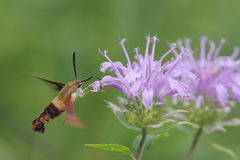 Common Clearwing Moth. On a flower Stock Photos