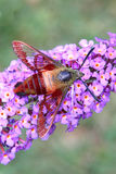 Common Clearwing Moth. On a flower Royalty Free Stock Photography
