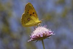 Common Clouded Yellow butterfly from Europe Stock Images